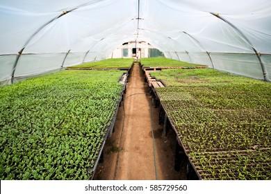 Organic farming, seedlings growing in greenhouse.