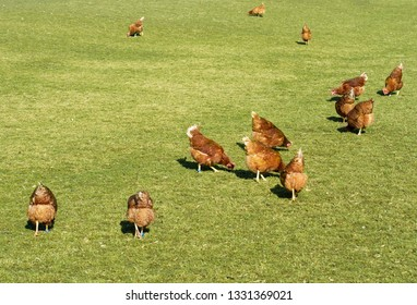 Organic farming wiht happy hens with big runout