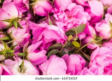Organic flowers of Bulgarian Rose