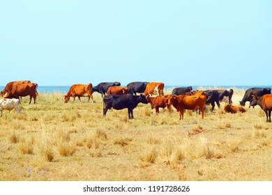 organic food a herd of cows on a natural grazing in the coastal steppe