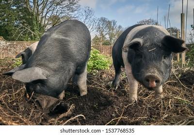 Organic free range Saddleback pigs
