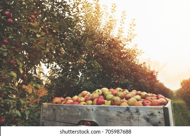 Organic Fresh Apples in a wooden crate in an apple orchard. Fall harvest.