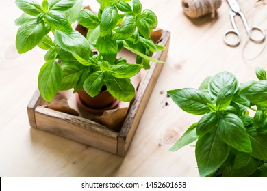 Organic fresh basil plant in flower pot, home gardening, plant care, hobbies, close up, selective focus