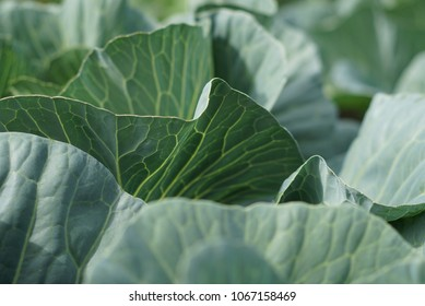 Organic Fresh Green Head of Cabbage in the garden closeup Cultivation of cabbage, harvest concept. Organic vegetables on farm. Big ripe cabbage detail or background.