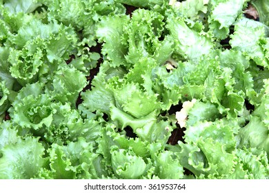 Organic Fresh green lettuce