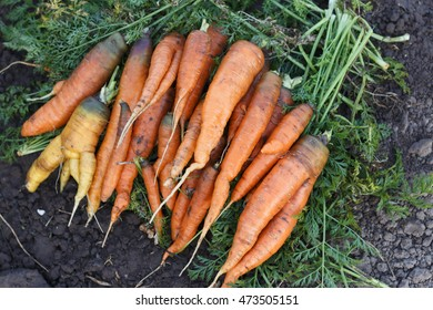 Organic fresh harvested carrots, soil background, selective focus. Natural organic eco product. Carrot on the garden. Image.