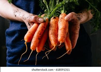 Organic fresh harvested vegetables. Farmer's hands holding fresh carrots, closeup.