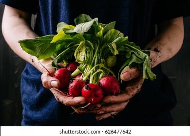 Organic fresh harvested vegetables. Farmer's hands holding fresh radish, closeup.