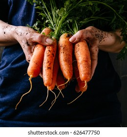 Organic fresh harvested vegetables. Farmer's hands holding fresh carrots, closeup. Square crop.