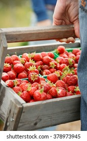 Organic fresh strawberries in a wooden basket. Picking strawberries at Norwegian farm. A man in blue jeans holding box full of red berries. Summer outdoor activities for family.