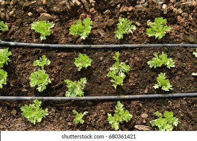Organic frillice iceberg lettuce plants are grown on the soil ground with a drip irrigation water system in the garden, It is commonly consumed as a salad vegetable or used to decorate dishes.
