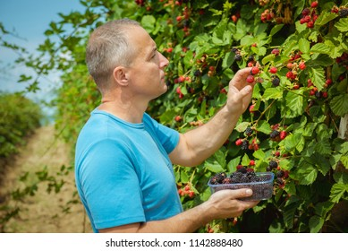 Organic fruit. Farmers hands with freshly harvested fruit. blackberry