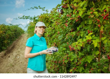 Organic fruit. Farmers hands with freshly harvested fruit. Fresh organic ежевика