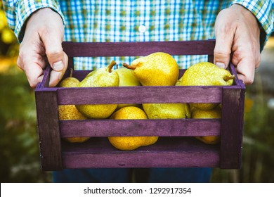 Organic fruit. Farmers hands with freshly harvested fruit. Fresh organic pears.