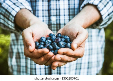 Organic fruit. Farmers hands with freshly harvested fruit. Organic blueberries. Fresh organic berries.Farming concept