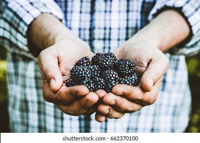 Organic fruit. Farmers hands with freshly harvested fruit. Fresh organic blackberries.
