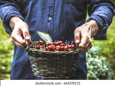 Organic fruit. Farmers hands with freshly harvested fruit. Fresh organic cherries.
