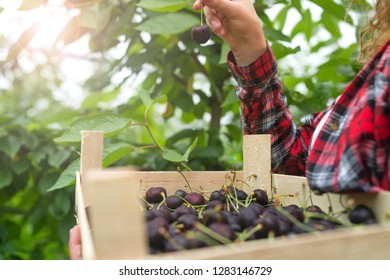 Organic fruit harvest. Farmer holding crate full of natural delicious cherries. Fruit picking.