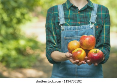 Organic fruits and vegetables. Farmers receive freshly picked apples. With empty space for labeling or advertising