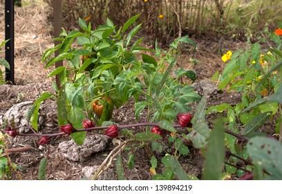 Organic garden capsicum rosella nasturtium
