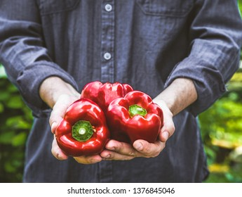 Organic gardening. Farmers hands with red peppers.  Spring gardening