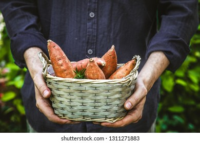 Organic gardening. Farmers hands withsweet potatoes.  Spring gardening