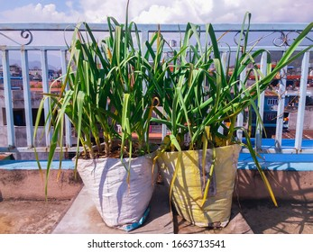 Organic Garlic plants Growing in the plastic  Sack at roof of house. Garlic plants in home made pot