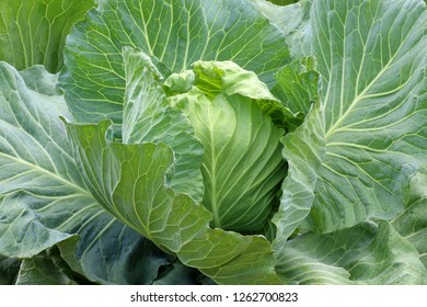 Organic green cabbage vegetable plant in the garden
