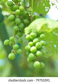 organic green grape