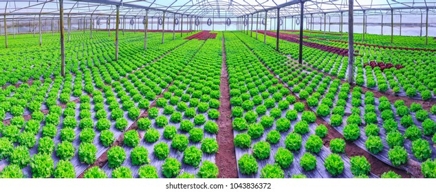 Organic green lettuce plants or salad vegetable cultivation in red soil wrapped a black polyethylene film at greenhouse farm. Concept of healthy eating. Farming. Food production. Somewhere in Portugal