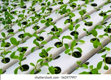 Organic  green lettuce small plants or salad vegetable grown from hydroponics system with liquid fertilizer solution in water without soil at greenhouse hydroponics farm