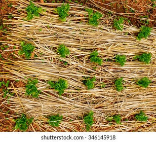 Organic green lettuces grown in the rice straw