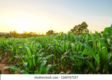 organic green natural corn field at agriculture farm in the summer sunset.