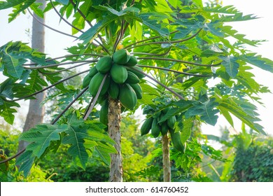 organic green papaya on tree