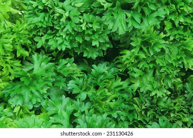 Organic green parsley as background