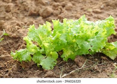 Organic green salad in the garden.
