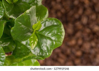 organic green small coffee plant and coffeebeans