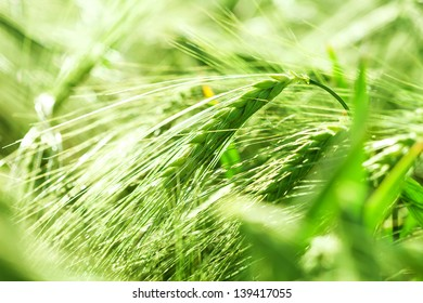 Organic green wheat.