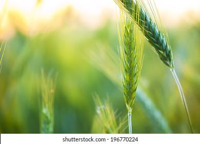 Organic green wheat. Macro image.