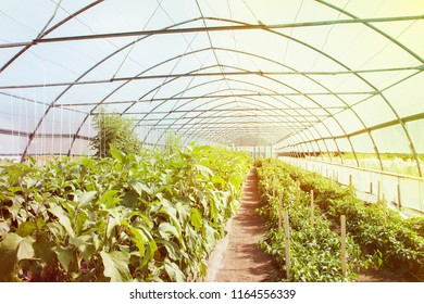 Organic greenhouse. Young plants growing in very large plant in commercial greenhouse.
