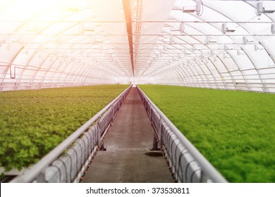 Organic greenhouse. Young plants growing in very large plant in commercial greenhouse