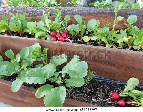 Organic growing of radishes on the balcony, terrace in the pot.