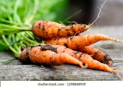 Organic grown fresh carrots