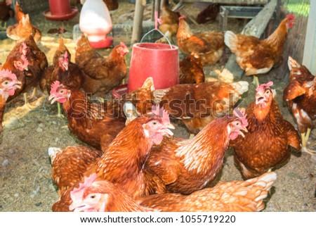 Organic Hen Chicken Eat Food Vitamin Stock Photo (Edit Now
