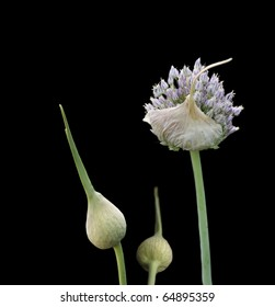 organic herb flower garlic flowering head and buds isolated on black