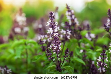 Organic Holy Basil or Tulasi with flowers in a greenhouse at sunrise. Close-up. Focus on inflorescence.