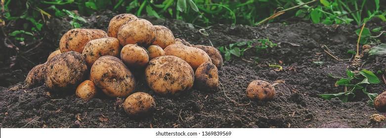 organic homemade vegetables harvest potatoes. Selective focus. nature