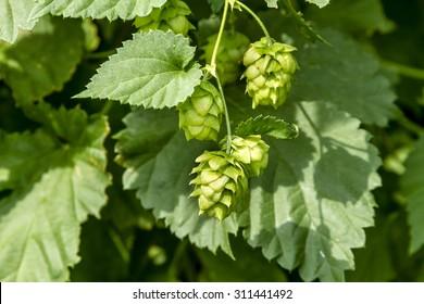 Organic hops seed cones growing on vine
