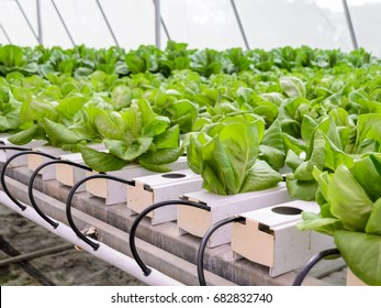 Organic Hydroponic butterhead leaf lettuce vegetables plantation in aquaponics system