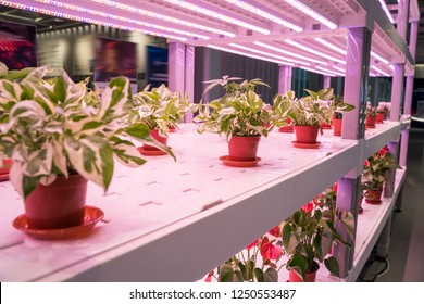 Organic hydroponic Devils ivy grow with LED Light Indoor farm,Agriculture Technology